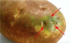 Tác hại khi ăn khoai tây mọc mầm