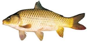 Cá chép vị thuốc lợi thủy tiêu thũng